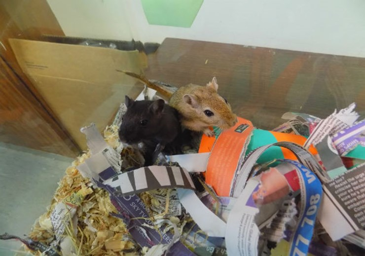 Pet of the Week: SSPCA are looks for people to rehome one of the five gerbils in their care