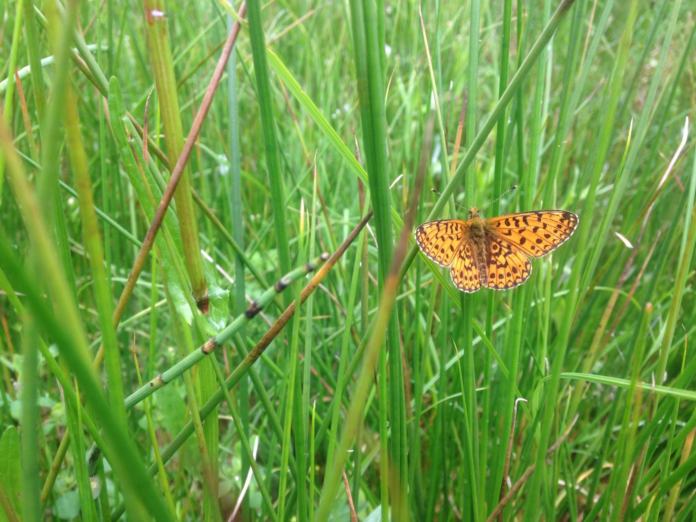 Butterflies of RSPB Loch Lomond